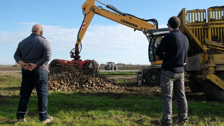 La récolte de betteraves àPithiviers(Loiret), le 14 novembre 2020. (LILIAN MARTORELL / HANS LUCAS / AFP)