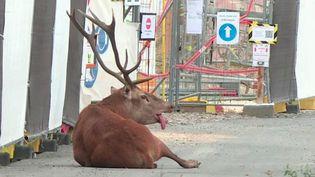 Chasse : un cerf traqué par des veneurs trouve refuge près d'un chantier (FRANCE 2)