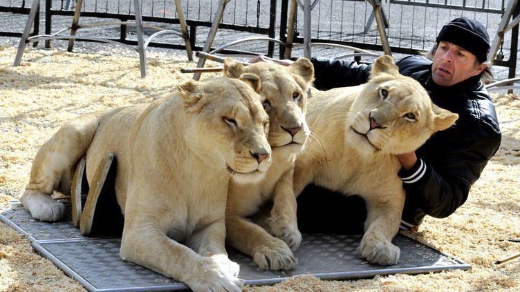 Le directeur du cirque Pinder, Frederic Edelstein, avec ses lions blancs, en février 2015. (MAXPPP)