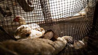 Une photoque l'association L214 dit avoir prise dans une ferme d'élevage de canards des Pyrénées-Atlantiques en août 2020. (L214)