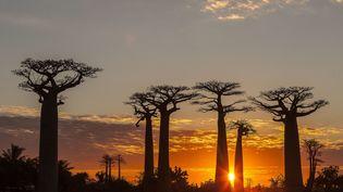 Des baobabs àMorondava (Madagascar), le 5 juin 2017. (MONTICO LIONEL / AFP)