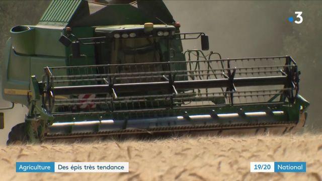 Agriculture : la récolte du blé dur