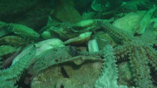 Depuis plusieurs semaines, la quantité de poulpesrécoltéssur les côtes de l'Atlantiqueexplose. Cette invasion est cependant une mauvaise nouvelle pour les pêcheurs de crustacés, dont les poulpes raffolent. (France 3)