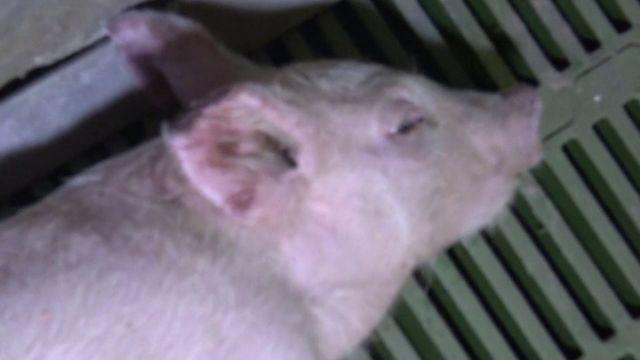 Envoyé spécial.  Dernière l'étiquette AOP du jambon de Parme, des cochons stressés qui se mangeraient entre eux