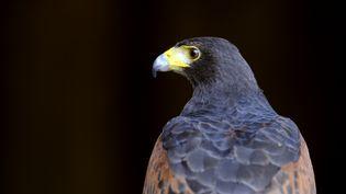 Une buse de Harris, le même type d'oiseau embauché par le Vatican pour protéger les colombes, le 9 avril 2014. (JEAN-CHRISTOPHE VERHAEGEN / AFP)