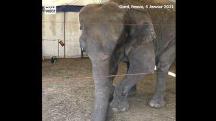 Capture d'écran de la vidéo sur l'éléphante Dumba filméepar One Voice et diffusée sur Twitter. (CAPTURE D'ECRAN TWITTER)