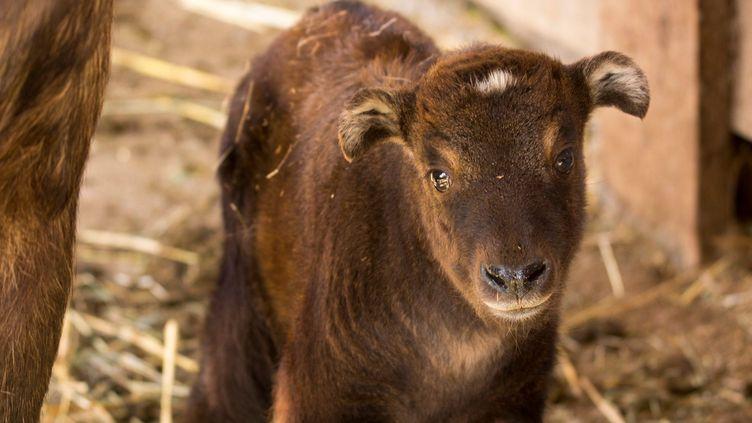 Un bébé takin est né au Parc animalier d'Auvergne. (RIVIERE ROMAIN / PARC ANIMALIER D'AUVERGNE)