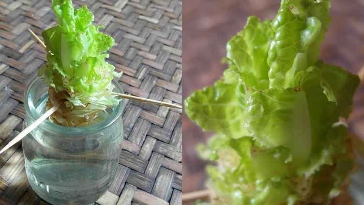 Encore quelques jours de patience et les feuilles seront bonnes à être coupées ! (ISABELLE MORAND / DIMITRI KALIORIS / RADIO FRANCE / FRANCE INFO)