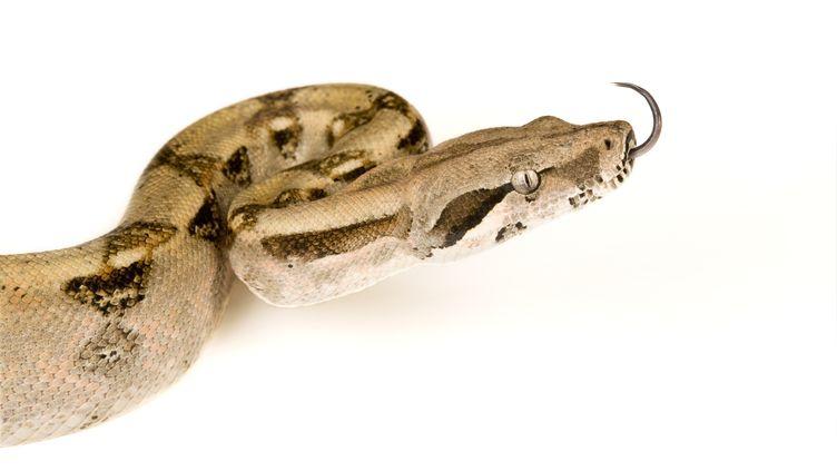 A Tournon-sur-Rhône, en Ardèche, un boa constrictor a été découvert dans les toilettes d'un collège, le 23 janvier 2014. (NICOLAS CEGALERBA / BIOSPHOTO / AFP)