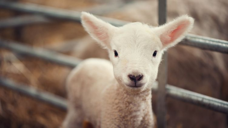 Une agnelle, génétiquement modifiée par l'Inra, s'est retrouvée commercialisée en novembre 2014. (IMAGES BY CHRISTINA KILGOUR / MOMENT RM / GETTY)