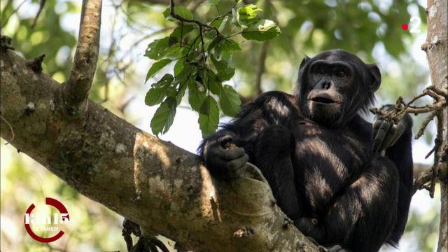 VIDEO. Les néonicotinoïdes pourraient être responsables de malformations chez un tiers des chimpanzés en Ouganda