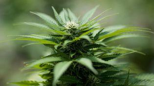 Un plan de cannabis  (DREW ANGERER / GETTY IMAGES NORTH AMERICA)