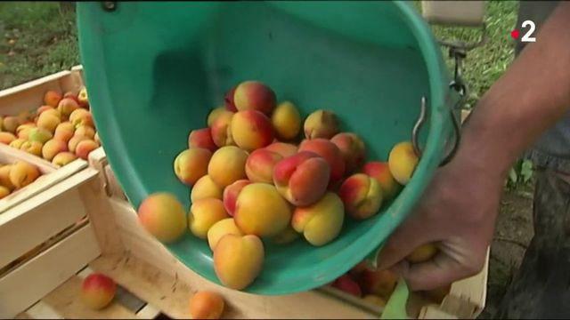 Fraises et abricots : les consommateurs sont déçus du goût