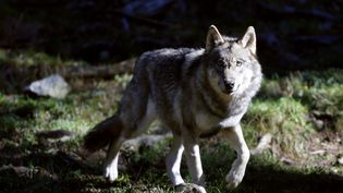 Un loup photgraphié dans le Parc du Mercantour, à Saint-Martin-Vesubie, en novembre 2012 (illustration). (VALERY HACHE / AFP)