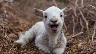 En novembre 2014, un agneau génétiquement modifié par l'Inra s'est retrouvé à l'abattoir, avec d'autres animaux non modifiés (photo d'illustration). (HANNEKE LUIJTING / FLICKR RF / GETTY IMAGES)