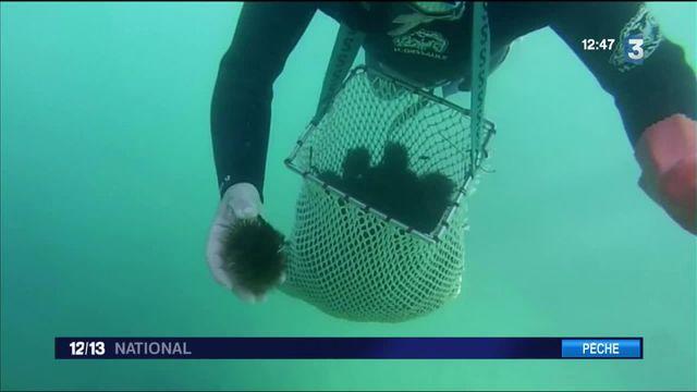 Pyrénées-Orientales : à la pêche aux oursins dans le parc national marin du golfe du Lion