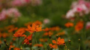 Les fleurs de cosmos dans un jardin botanique aux Etats-Unis en Alabama. (MIKE KITTRELL / MAXPPP)