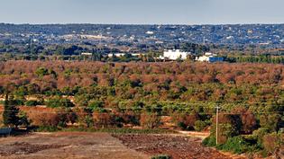Prise de vue d'un champ d'olivier contaminé par la bactérieXylella Fastidiosa àGallipoli dans le sud de l'Italie. (VOCE DELL'ULIVO)