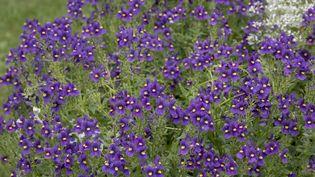 """Plante à la fois sauvage et domestique, la violette odorante est aussi communément appelée fleurs de Mars ou violette de Mars.Selon le positionnement des pétales, les espèces sont appelées """"violettes"""" ou """"pensées"""" (MAXPPP)"""