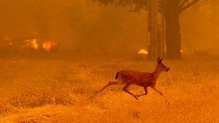 Une biche fuyant les flammes d'un incendie en Californie (Etats-Unis), le 4 août 2018. (NOAH BERGER / AFP)