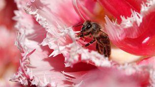 Une abeille dans un jardin botanique de Munich (Allemagne), le 24 avril 2019. (RACHEL BOSSMEYER / DPA / AFP)