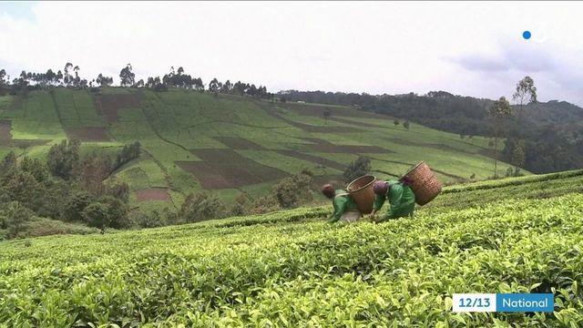 Agriculture : la production de thé menacée par le dérèglement climatique