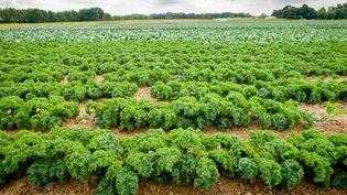 Plantation de chou kale. (VW PICS / UNIVERSAL IMAGES GROUP EDITORIAL / GETTY IMAGES)