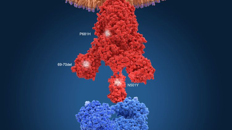 Illustration de la protéine Spike (en rouge) constitutivedu variant britannique du coronavirusSARS-CoV-2. (JUAN GAERTNER / SCIENCE PHOTO LIBR / JGT / SCIENCE PHOTO LIBRARY VIA AFP)