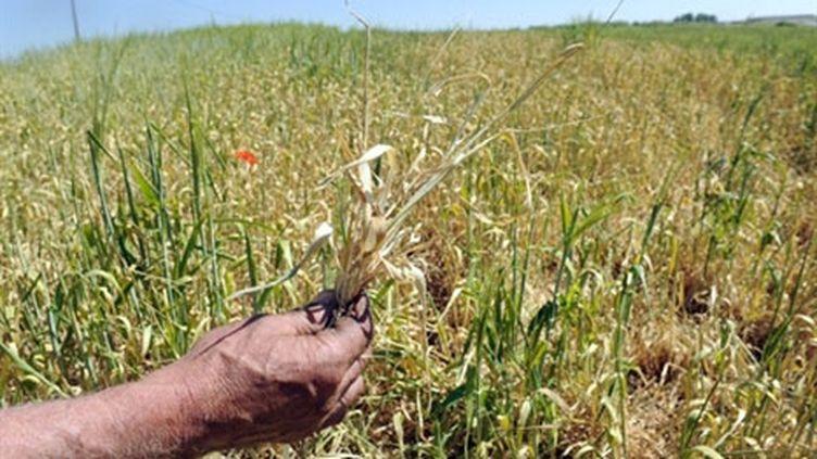 Le maïs sèche sur pied à Grenay, près de Lyon (5 mai 2011) (AFP / Philippe Desmazes)