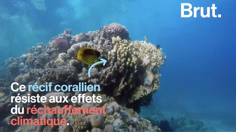 VIDEO. Le récif corallien du golfe d'Aqaba, un récif qui résiste au réchauffement climatique (BRUT)