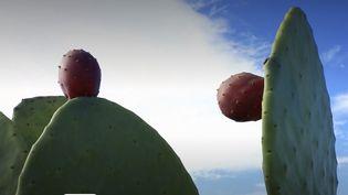 L'huile de figue de Barbarie est en train de détrôner l'huile d'Argan.Dans lesudtunisien, de plus en plus de producteurscultiventce cactus. (France 3)