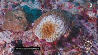 Des coraux en Martinique. (France 2)