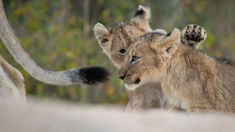Deux lionceaux jouent ensemble en suivant leur mère dans la réserve Greater Kruger National Park, en Afrique du Sud, le 22 juin 2019. (LONDOLOZI IMAGES/MINT IMAGES / MINT IMAGES)