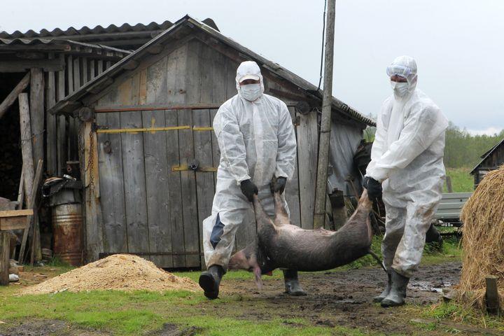 Les employés des services sanitaires russes transportent la carcasse d'un porc mort de la grippe porcine, en vue de son incinération, dans le village d'Ozerki, en Russie, le 13 mai 2012. (KONSTANTIN CHALABOV / SPUTNIK / AFP)