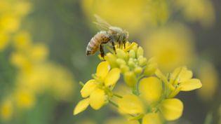 Le pesticide Cruiser OSR, utilisé pour le colza et accusé de contribuer au déclin des colonies d'abeilles, a été interdit en France le 29 juin 2012. (UVIMAGES / AMANAIMAGESRF / GETTY IMAGES )