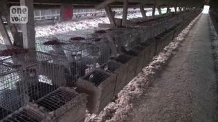 Des centaines de visons sont parqués les uns sur les autres dans cette ferme française, dont on ignore la localisation. (ONE VOICE)