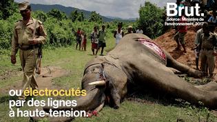En Inde, le conflit Homme-éléphants est préoccupant (BRUT)