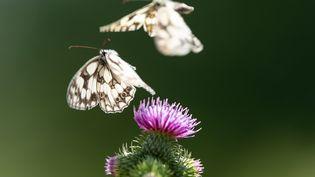 Deux papillons volent au-dessus d'une fleur en Allemagne. (SILAS STEIN / DPA)