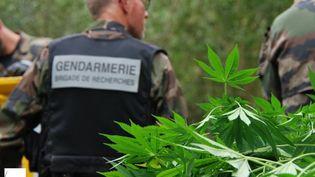Les gendarmes ont découvert et détruit 120 pieds de cannabis sur l'île Héron près de Nantes (GENDARMERIE NATIONALE)