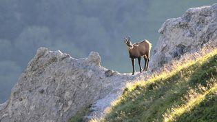 Un chamois dans le massif du Sancy (Puy-de-Dôme). (MAXPPP)
