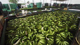 Ferme bananière du groupe agroalimentaire angolais Novagrolider,situéeprès de Caxito,dans la province de Bengo, àune soixantaine de kilomètres de la capitale, Luanda, le 14 novembre 2018. (RODGER BOSCH / AFP)