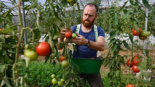 Un maraîcher cultive ses tomates, le 21 septembre 2018 à Trémargat (Côtes-d'Armor). (FRED TANNEAU / AFP)