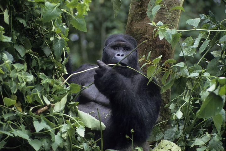 Gorille de montagne photographié dans le parc de Virunga. (GUERRIER A/HorizonFeatures/Leemage)
