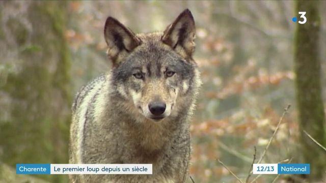 Charente : le premier loup observé depuis un siècle