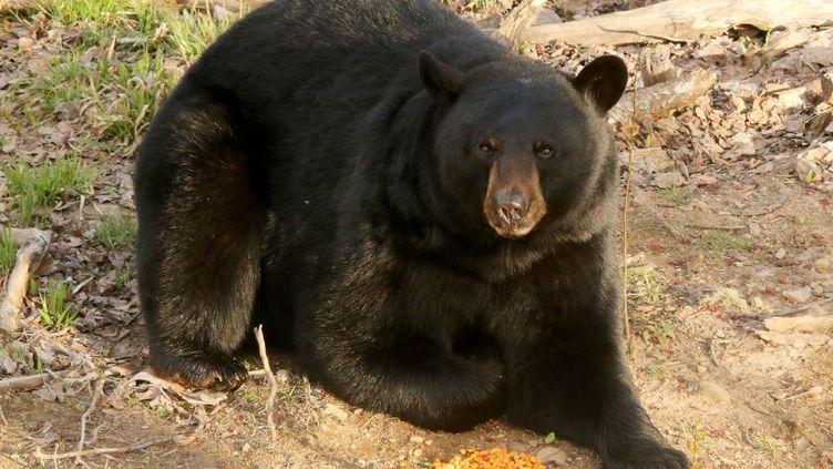 Il n'est pas exceptionnel que des ours noirs, nombreux en Colombie-Britannique, s'approchent de résidences, attirés par la nourriture qu'ils peuvent trouver dans les poubelles. (CATERS NEWS AGENCY / SIPA)