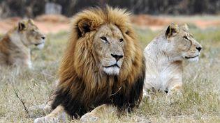 L'Afrique du Sud compte jusqu'à 8.000 lions élevés en enclos contre3.000 bêtes à l'état sauvage. Les premiers sont destinés à la chasse, au commerce des os, au tourisme et à la recherche universitaire. RANTANPLAN (DANIEL GARCIA / AFP)