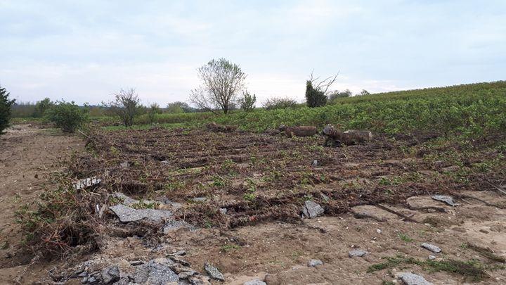 Une parcelle de la Maison Ventenac à Ventenac-Cabardès (Aude)aux ceps de vignes arrachés par les intempéries du 15 octobre. (BENJAMIN MATHIEU / RADIO FRANCE)
