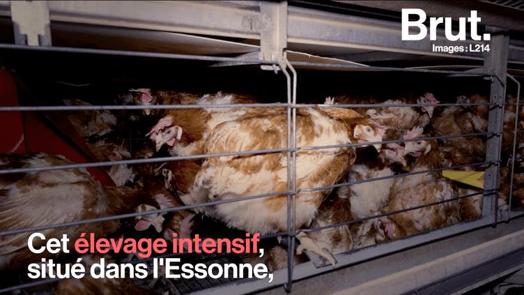 VIDEO. L214 dévoile une vidéo choc sur l'élevage intensif des poules (BRUT)