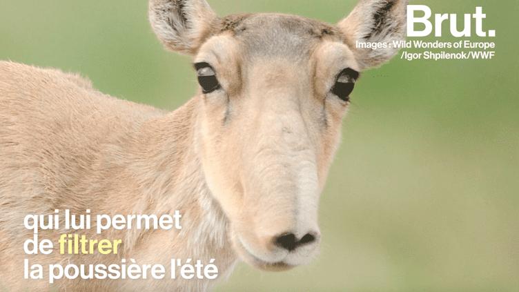 Le saïga, une espèce d'antilope méconnue au bord de l'extinction (BRUT)