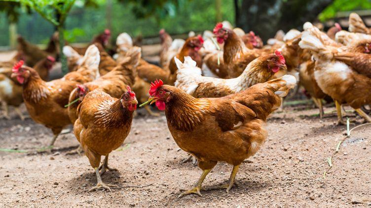 (Poulets fermiers © Fotolia)